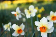 Weiße/rote Blume im Vordergrund mit unscharfem Hintergrund lizenzfreies stockbild