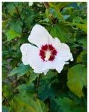 Weiße/rote Blumen Stockbild