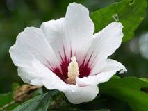 Weiße rote Blumen der Nahaufnahme Stockbilder