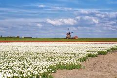 Weiße, rote Tulpen und niederländische Windmühle Stockfoto