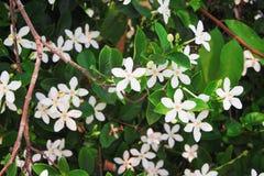 Weiße sampaguita Jasminblumen, Naturgruppe, die im Garten blüht lizenzfreie stockbilder