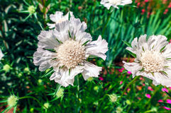 Weiße Scabius-Blumen Stockfotos