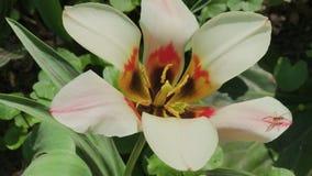 Weiße schöne Lilie auf Blumenbeet an einem sonnigen Tag stock video