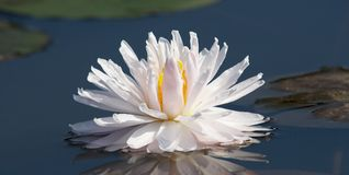 Weiße Schönheit lizenzfreie stockbilder