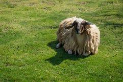 Weiße Schafe Stockbilder