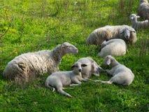Weiße Schafe auf dem Gebiet Stockfotografie