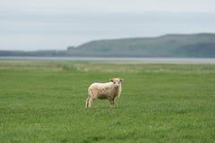 Weiße Schafe auf einem grünen Feld in Island Stockbild