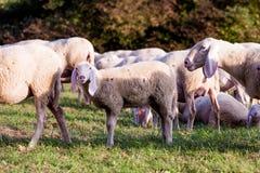 Weiße Schafe in der Landschaft Stockfotografie