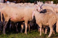 Weiße Schafe in der Landschaft Stockfoto