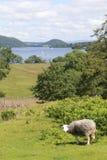 Weiße Schafe in der Landschaft des Sees Distict nahe Ullswate Stockbilder