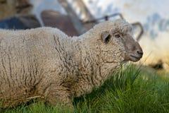 Weiße Schafe, die auf einem Feld bei Sonnenuntergang III durchstreifen lizenzfreie stockfotos