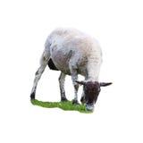 Weiße Schafe, die auf Wiese weiden lassen Lizenzfreie Stockbilder
