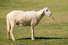 Weiße Schafe, die im Feldbauernhof weiden lassen Lizenzfreie Stockfotos