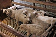 Weiße Schafe im Stift am Bauernhof Stockbild