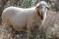 Weiße Schafe Oviswidder nah oben mit Glocke auf Hals Roque Nublo lizenzfreie stockfotos