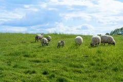 Weiße Schafe und ein Lamm auf einer grünen Weide unter blauem Himmel Lizenzfreies Stockfoto