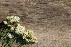 Weiße Schafgarbe blüht Achillea-millefolium auf hölzernem Hintergrund Lizenzfreies Stockbild