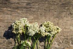 Weiße Schafgarbe blüht Achillea-millefolium auf hölzernem Hintergrund Stockbilder