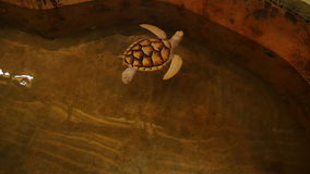 Weiße Schildkrötenschwimmen in einem Pool an einem Schildkrötenbrutplatz in Sri Lanka stock video