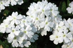 Weiße schleppende Verbene-Blumen Stockfoto