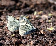 Weiße Schmetterlinge Stockfoto
