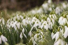 Weiße Schneeglöckchen im Frühjahr Lizenzfreies Stockfoto