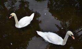 Weiße Schwäne stockbild