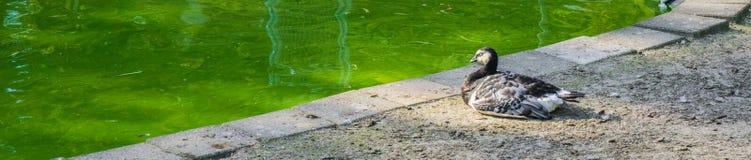 Weiße schwarze Ente Schlafens an der Teichfahne Stockfoto