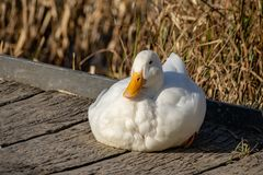 Weiße schwere Enten - Amerikaner Pekin Ente alias die Aylesbury oder Long Islands, die auf einer hölzernen Plattform bei Sonnenun lizenzfreies stockfoto