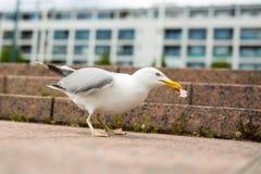 Weiße Seemöwe auf den Granitstadtschritten Stockfotos