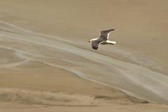 Weiße Seemöwe, die über atlantischen Strand fliegt Stockfotos
