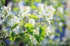 Weiße Serviceberryblumen im Vorfrühling lizenzfreie stockfotos