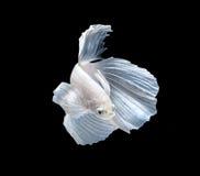Weiße siamesische kämpfende Fische, betta Fische lokalisiert auf schwarzem backgr Stockfotografie