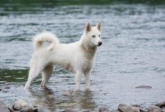 Weiße sibirian Schlittenhunde im Fluss Stockfoto