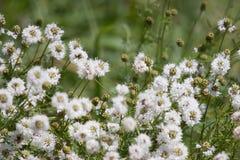 Weiße snakeroot Wildflowers Stockbild