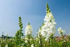 Weiße Snapdragon Blumen unter blauem Himmel Stockfoto