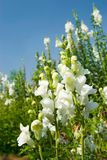Weiße Snapdragon Blumen unter blauem Himmel Lizenzfreie Stockbilder