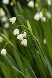 Weiße snowbell Blumen Lizenzfreies Stockbild