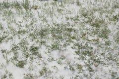 Weiße snowlike Haare der Pappel im Kiefernholzwald nahe Jachthafen R Stockfoto