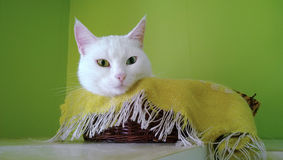 Weiße sonderbar-äugige Katze schläft im Korb lizenzfreies stockfoto