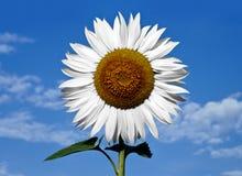 Weiße Sonnenblume stockfotografie