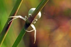Weiße Spinne auf einem Stiel stockfoto