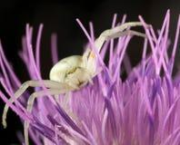 Weiße Spinne oder Krabbenspinne Stockfotos