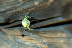 Weiße Spinne Thomisidae, die auf das Opfer auf dem Bretterzaun wartet lizenzfreies stockfoto