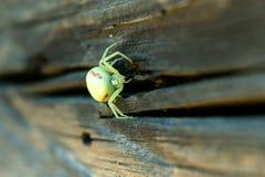Weiße Spinne Thomisidae, die auf dem Bretterzaun sitzt stockbilder