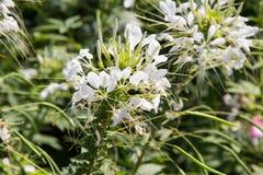 Weiße Spinnenblume Stockfoto