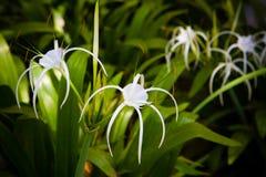 Weiße Spinnenlilie Stockbild