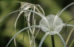 Weiße Spinnenlilie auf grünem Hintergrund Lizenzfreie Stockfotos