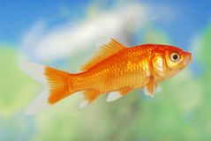 Weiße Spitze-Goldfische Lizenzfreies Stockfoto