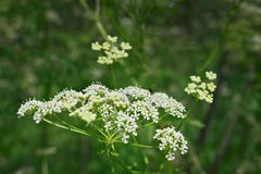 Weiße Spitzen- Blumen von goutweed Lizenzfreie Stockbilder